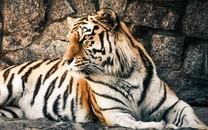 霸气大型食肉动物老虎图片壁纸