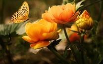 蝴蝶花卉高清图片壁纸