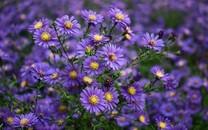 可爱紫色小花唯美高清图片壁纸