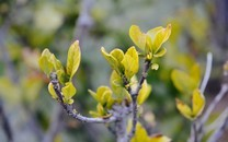 早春绿芽萌发桌面壁纸