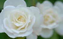 白玫瑰壁纸图片-白色玫瑰图片大全