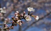 粉色盛开的樱花高清图片壁纸