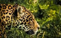 速度之王猎豹图片壁纸