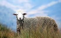 超级可爱萌萌哒的羊图片壁纸