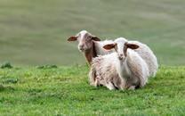超级可爱萌萌哒的羊图片壁纸2