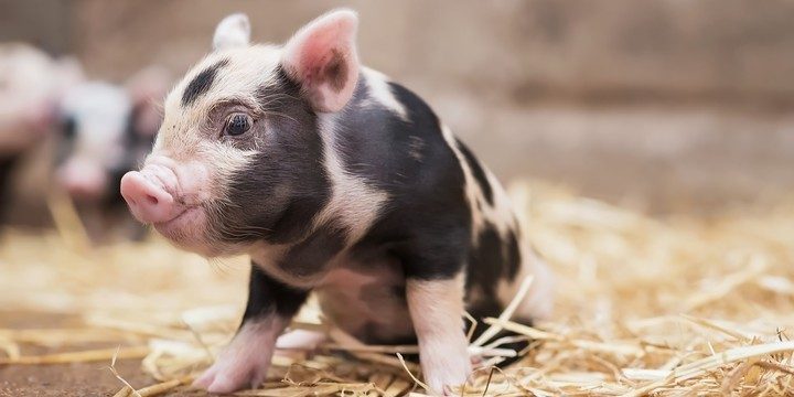 软萌可爱小猪图片壁纸