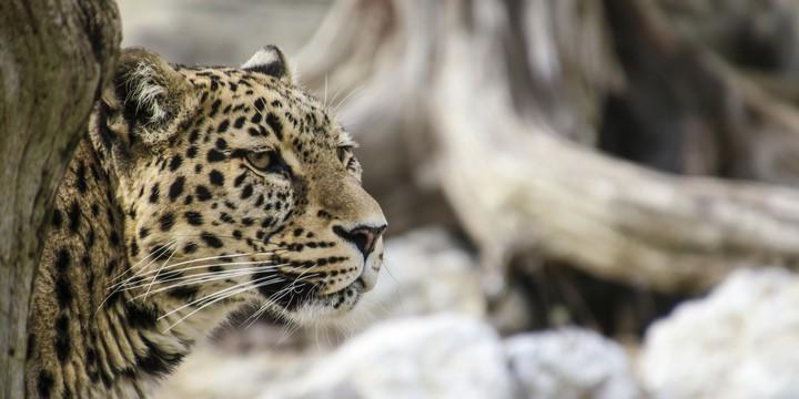 野生动物豹子图片壁纸