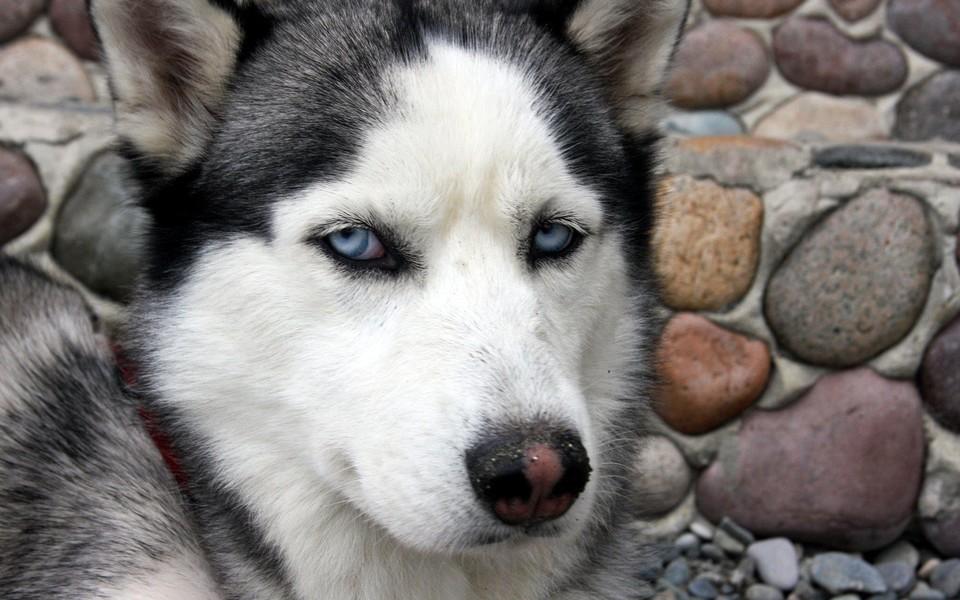 呆萌哈士奇可爱狗狗壁纸