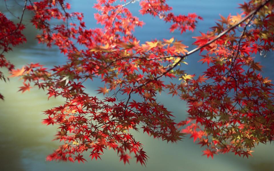 电脑壁纸 自然风景壁纸 枫树主题高清壁纸下载