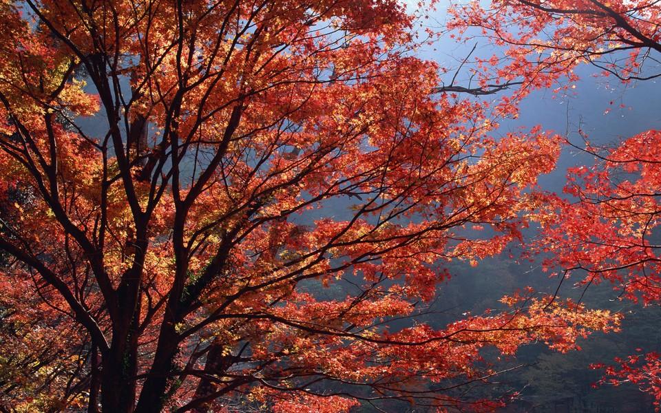 笔记本壁纸 自然风景壁纸 枫树主题高清壁纸下载