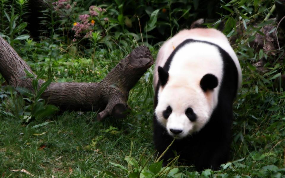 电脑壁纸 动物壁纸 熊猫高清壁纸精选集下载