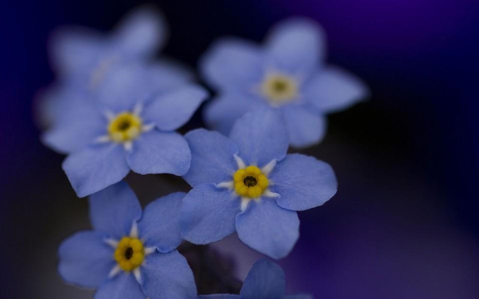 蓝色的小花电脑桌面壁纸