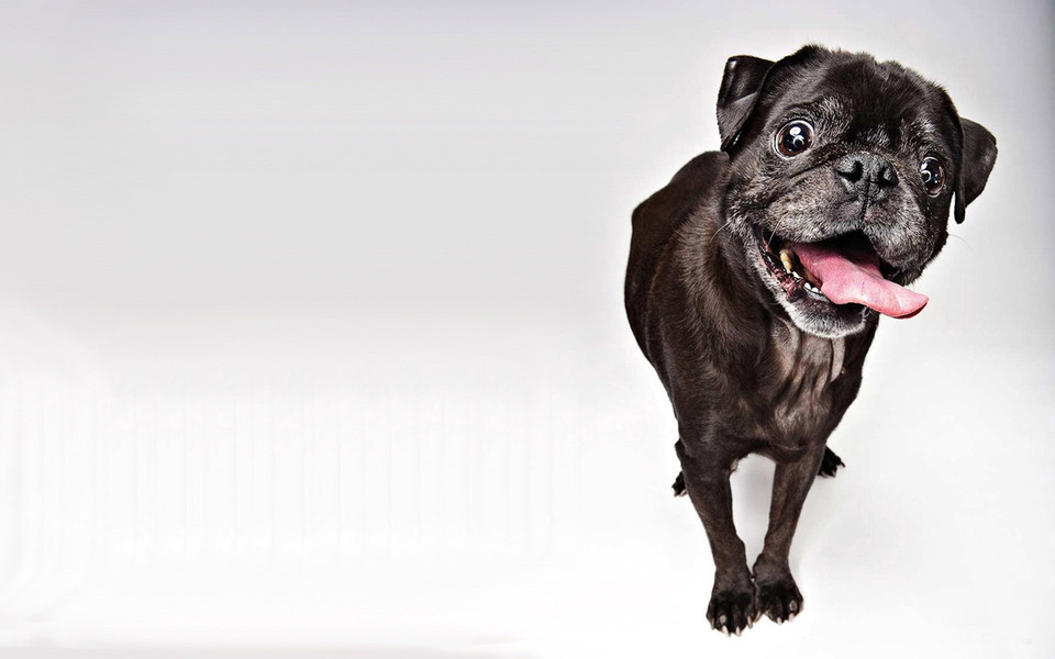 可爱狗狗电脑桌面壁纸