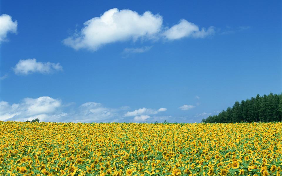 壁纸 成片种植 风景 植物 种植基地 桌面 960_600