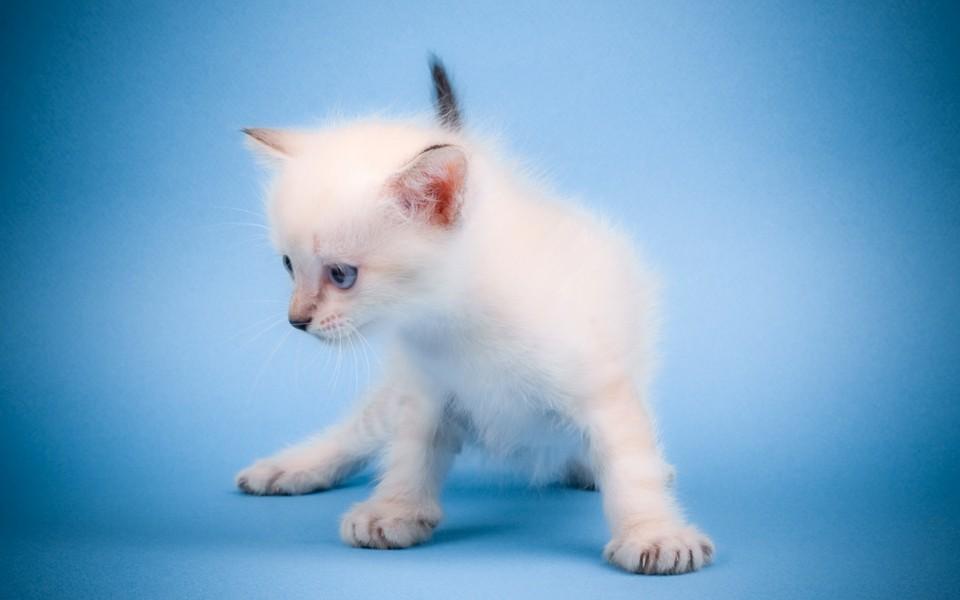 可爱的萌猫猫电脑壁纸