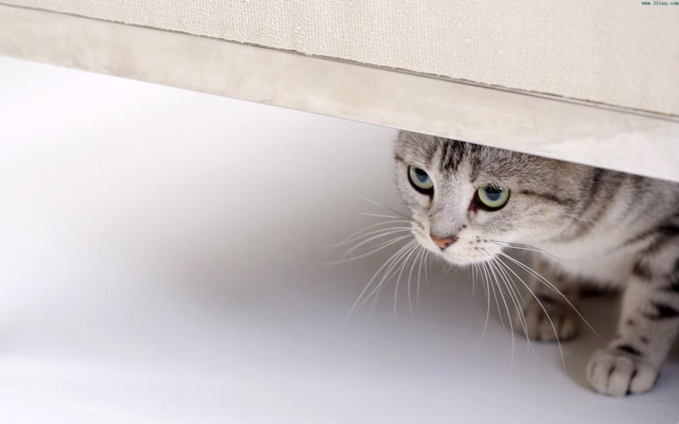高清猫咪电脑壁纸