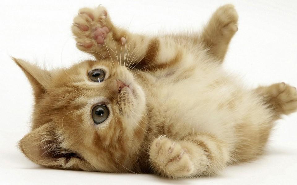 电脑壁纸 动物壁纸 小猫猫可爱卖萌壁纸下载