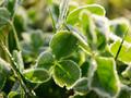 高清植物三叶草壁纸