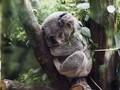 可爱的树袋熊考拉图片壁纸