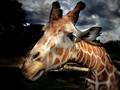 萌萌长颈鹿图片高清动物壁纸