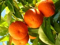 橘子高清水果桌面壁纸