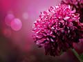 唯美菊花花卉桌面壁纸