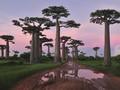 非洲植物猴面包树壁纸
