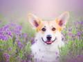 可爱柯基犬高清壁纸