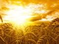 小麦图片壁纸-金山的麦子图片