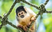 可爱小猴子喜庆图片壁纸