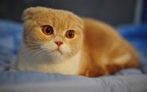 苏格兰折耳猫高清壁纸