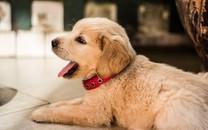 高清晰趴着的狗狗图片壁纸