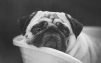 狗狗的黑白老照片好怀旧啊