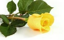 玫瑰花图片-玫瑰花图片大全