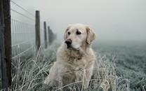 拉布拉多(Labrador)高清壁纸