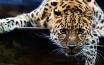 豹子图片-豹子图片壁纸大全