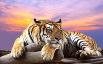 老虎图片大全-野生老虎图片