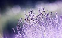 唯美紫色小花背景图片壁纸