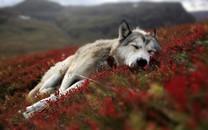 狼图片-狼的图片大全