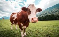 草原牛高清桌面壁纸
