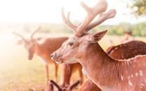 草地上的小鹿高清壁纸