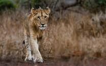 精选雄壮的狮子高清图片壁纸