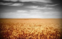 阳光下的金黄色麦田风景图片壁纸