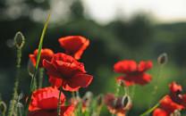 罂粟唯美植物壁纸下载