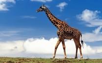 蓝天白云下的长颈鹿可爱特写图片壁纸