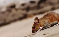 可爱鼠高清图片壁纸