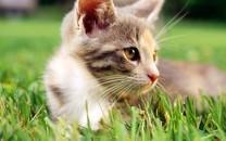 草地里玩耍的猫咪图片桌面壁纸2