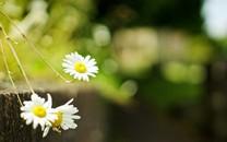 唯美花卉桌面壁纸