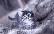 呆萌可爱小猫咪桌面壁纸