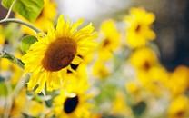 向日葵植物唯美壁纸
